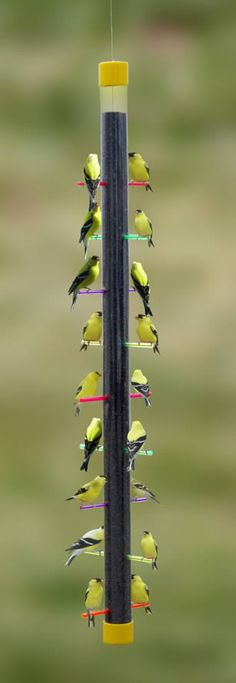 Feeding Finches - use the right kind of feeder with the little holes and they will come. They are usually mated up.