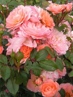 Apricot Drift rose (Other colors available: Red, Coral, Pink, White, sometimes Yellow) Flower Beds, My Flower, Flower Power, Beautiful Roses, Beautiful Gardens, Beautiful Flowers, Drift Roses, Growing Roses, Nature