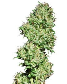 Barney's Farm Utopia Haze is a very special strain that gets its genetics from a particular strain found only in Brazil: a hybrid of Afghani, North Indian and Mexican sativas. It took quite an effort and much perseverance to acquire the seeds and that was when the seed selection process began. http://www.cannabis-seeds-store.co.uk/feminised-seeds/barney-39-s-farm/utopia-haze-feminised-seeds/prod_289.html