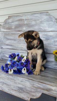 German Shepherd Puppies for Sale | Lancaster Puppies