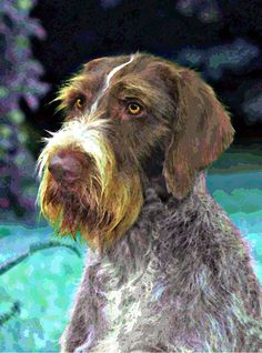 When the Germans wanted a dog that could do it all, they created the German Wirehaired Pointer, a versatile, multi-purpose hunting dog. Strong and medium-sized, with a typical Pointer personality, the breed's most distinctive feature is its functional wiry coat. Weather resistant and water-repellant, the outer coat is straight, harsh, wiry and flat lying, which helps to protect the dog against rough cover while hunting. The coat must be liver and white in color.
