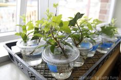 Softwood cuttings are kind of like when we cut a stem of a houseplant and stick it in a glass of water until it grows roots, except we stick it into moist potting soil and trap it with a plastic bag. (OK, you can just stick some plants into water, let's be honest… some are just so easy!)