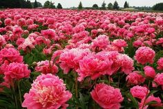 Pretty Pink Peonies.  Perfect!