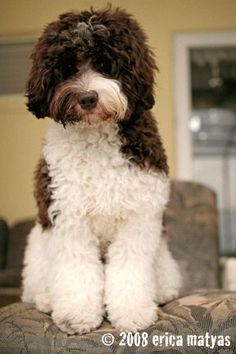 Image detail for -areas labradoodle coat types the three coat texture types are Labradoodle Breeders, Australian Labradoodle, Goldendoodles, Labradoodles, Miniature Labradoodle, Cockapoo, Cute Puppies, Dogs And Puppies, Lagotto Romagnolo