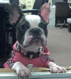 Agatha Crumb is working hard!! #frenchie #cute