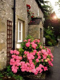 English Cottage with vibrant viburnum!