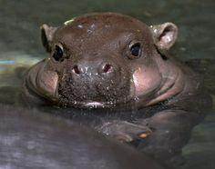 Baby hippo!!