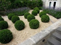 A fine selection from the Southern Living Plant Collection Baby Gem Boxwood is a cute little gem of a boxwood perfect for use in smaller garden spaces. Boxwood Landscaping, Boxwood Garden, Gravel Garden, Front Yard Landscaping, Dwarf Boxwood, Pea Gravel, Formal Gardens, Outdoor Gardens, Landscape Design