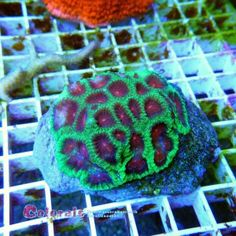 Favia spp Metalic Green Red with PurpleM Blanket, Metal, Crochet, Green, Chrochet, Rug, Crocheting, Blankets, Cover