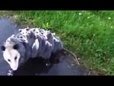 Mami Opossum mit 15 Jungen - http://www.dravenstales.ch/mami-opossum-mit-15-jungen/