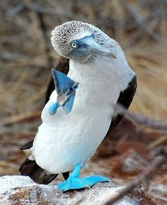 Scratch it if you can...☺       Blue Footed Booby by sdwinkler, Flickr Animals And Pets, Baby Animals, Cute Animals, Galapagos Islands Ecuador, Booby Bird, Blue Footed Booby, Bird Gif, Cute Animal Pictures, Beautiful Creatures