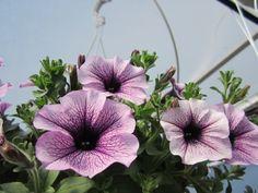 Riippupetunia 'Surfinia Compact Purple Vein' Compact, Purple, Plants, Plant, Viola, Planets