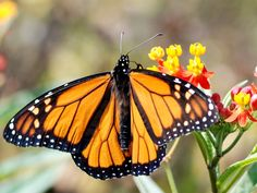 Could farmers help to save the monarch butterfly, disappearing at a population…
