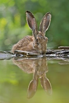 H a r e by Georg Scharf. Just love Hares - they are real characters, rather ungainly except when they run, then they fly!