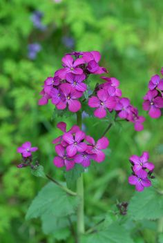 Lunaria (money plant)