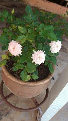 Mini Rosa ❤