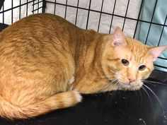 NYC TO BE DESTROYED 04/30/15 **Sweet** VITO lived with 4 other cats & 2 dogs. Vito is relaxed, affectionate & respectful towards the cats. He loved playing with his brother & sisters, and Loves Being By his Person. He is fearful in facility, but is up for Adoption!!!! ID # A1034150. Male org tabby about 2 YEARS OWNER SUR reason stated was Moving out of State. https://www.facebook.com/nycurgentcats/photos/a.997947326889921.1073742670.220724831278845/997947533556567/?type=3&theater