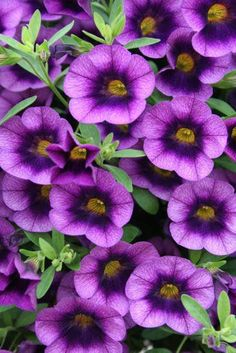 Super 'Superbells' - by PW (Proven Winners)! 'Grape Punch' is one of our new varieties. Related to petunias but - not sticky and they perk right up after it rains! Vigorous - heat tolerant - training habit that cascades over the side of baskets and containers - and hummingbirds love them too!  www.nelsonnursery.com
