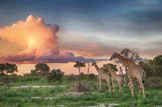 What an extraordinary photo! A landscape view of giraffe walking beneath a breathtaking technicolour sunset in the Okavango Delta, Botswana. Photograph by Michael Poliza / Barcroft India The Lion Sleeps Tonight, Chobe National Park, Okavango Delta, Wild Creatures, Photos Of The Week, Natural World, Animals Beautiful, Savannah Chat, Animal Pictures