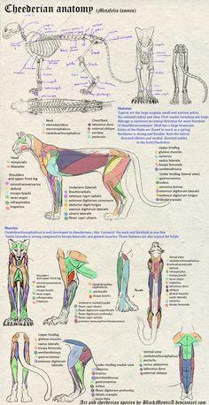 Cheederian anatomy by BlackMysticA.deviantart.com on @DeviantArt