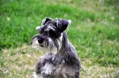 Ranked as one of the most popular dog breeds in the world, the Miniature Schnauzer is a cute little square faced furry coat. It is among the top twenty favorite(...)