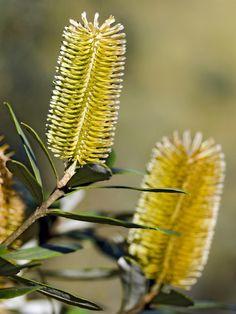 This spectacular evergreen Australian Native has large, bright, limeyellow bottlebrush shaped flowers that are irresistible to birds. The seed heads are dark brown, and hold on the tree for many years (quite ornamental).