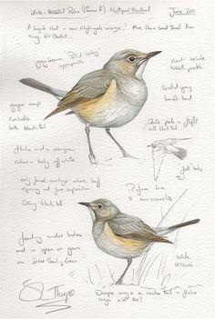 White-throated Robin (1st summer female)