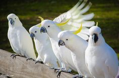 Australian cockatoos. They are very intelligent birds & if you have one as a pet you can teach them to talk & sing...superb