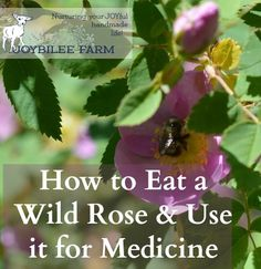 The rose is the 2012 Herb of the Year! Western Canada is the land of wild roses. If you have a homestead in B.C., you probably have wild roses growing nearby. There are over 100 different varieties of wild roses in North America and BC has 6 of them. Each features white to deep rose …