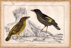 Birds: Horsfield's Eurylaime c1860 Hand colored Litho