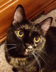 Sassy Hoaglan tortie cat  – I'm awesome! #Tortie #Sassy #Cat