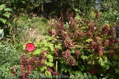 July garden chores - Red Dirt Ramblings® Hibiscus 'Luna' with Orange Rocket Barberry and 'Ruby Slippers' oakleaf hydrangea.