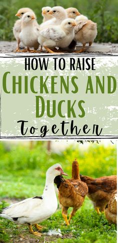 Raising chickens and ducks together is so easy! Adding ducks to your homestead doesn't have to be complicated. You can keep your chickens and ducks together in the same coop. Here's how to raise ducks and chickens together.