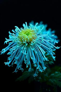 Blue Chrysanthemum Flowers Garden Love