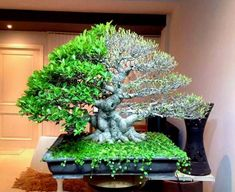 Defoliation & Energy Balancing for Strong Bonsai