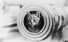 The feline mascot of the Australian light cruiser HMAS Encounter, peering from the muzzle of a 6 inch gun, 1914-1918