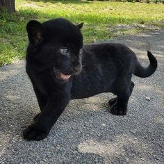 Adorable Black Panther Cub