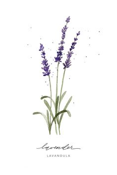 print of an original watercolor featuring lavender herb and modern calligraphy this piece is an art quality giclée print on archival cotton paper frame is not included ships in flat cardboard with cello sleeve to protect the paper made in U - # Botanical Art, Botanical Illustration, Art Floral, Watercolor Flowers, Watercolor Art, Calligraphy Watercolor, Lavender Tattoo, Plant Drawing, Art Design