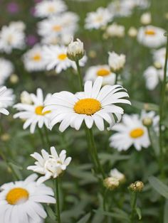 Shasta daisy - 10 Plants That Attract Good Bugs on HGTV