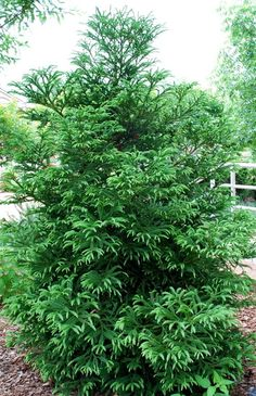 Cryptomeria - cryptomeria japonica zone: 5 high and wide Evergreen Landscape, Evergreen Garden, Evergreen Shrubs, Trees And Shrubs, Trees To Plant, Planting Shrubs, Garden Shrubs, Garden Trees, Privacy Landscaping