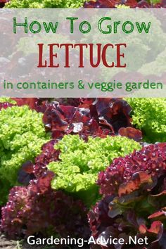 Growing Lettuce is quite easy and quick. Learn how to grow lettuce from seed in pots, window boxes or the vegetable garden.