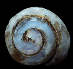 Helix ramondi land snail totally transformed into light blue lussatite (Opal-CT variety)