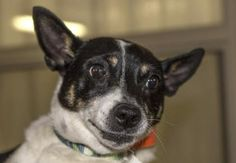 Adopt Hawkeye, a lovely 4 years Dog available for adoption at Petango.com. Hawkeye is a Terrier, Rat and is available at the National Mill Dog Rescue in Colorado Springs, CO. milldogrescued.org...#rescue#adoptyourfriendtoday