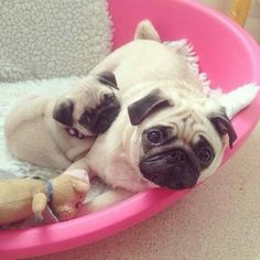 I'm not usually a big fan of pugs, but these are SOOO cute!