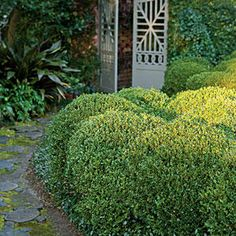Japanese Boxwood Garden - Boxwoods for Every Landscape - Southernliving. The round-tipped, glossy, dark green leaves of Japanese Boxwood (B. microphylla japonica) may take on a bronze cast in cold winters when exposed to southwestern sun. It tolerates heat, humidity, and nematodes, making it the best boxwood for the Coastal South, though it does well throughout the South.