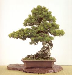 Tim Bonsai