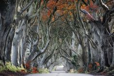 The dark hedges Armoy - An autumnal shot of the dark hedges at Armoy, Antrim, Northern Ireland. Made famous recently by the 'Game of Thrones' Fantasy Pictures, Fantasy Images, Fall Pictures, Hoia Baciu Forest, Dark Hedges, Hallway Pictures, Game Of Thrones, Gray Tree, Strange Events
