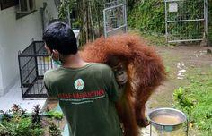 Os orangotangos de Bornéu estão ameaçados pela produção de óleo de palma.