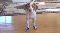 Cão tem dificuldade para andar de tênis
