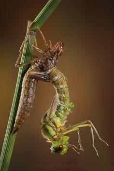 Emperor Dragonfly - Anax...: Photo by Photographer Igor Siwanowicz